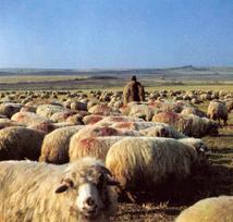 Shepherdandflock